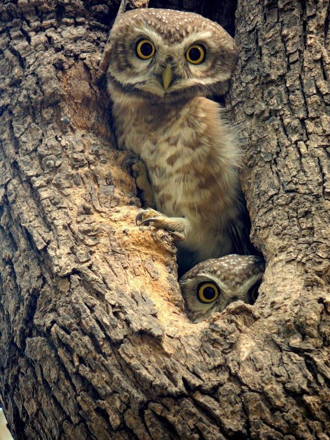 Owl and owl! by Photo Matic - Animals Birds