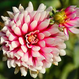 Dalhia n000130 by Gérard CHATENET - Flowers Single Flower