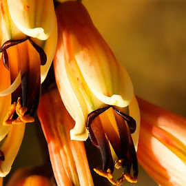 aalwyn by AB Rossouw - Nature Up Close Other plants ( close up, garden, aloe, flower )