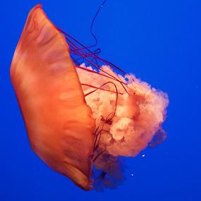 Jelly fish  by Ed Neu - Animals Sea Creatures ( underwater )