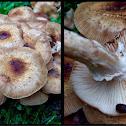 Armillaria sp. Honey Mushroom