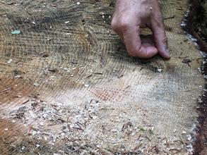 Photo: Donc cet arbre a du être planté ou semé aux alentours des années 1860