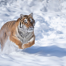 Tiger running in snow by Jack Nevitt - Animals Lions, Tigers & Big Cats ( running, jumping, snow, winter, tiger, leaping )