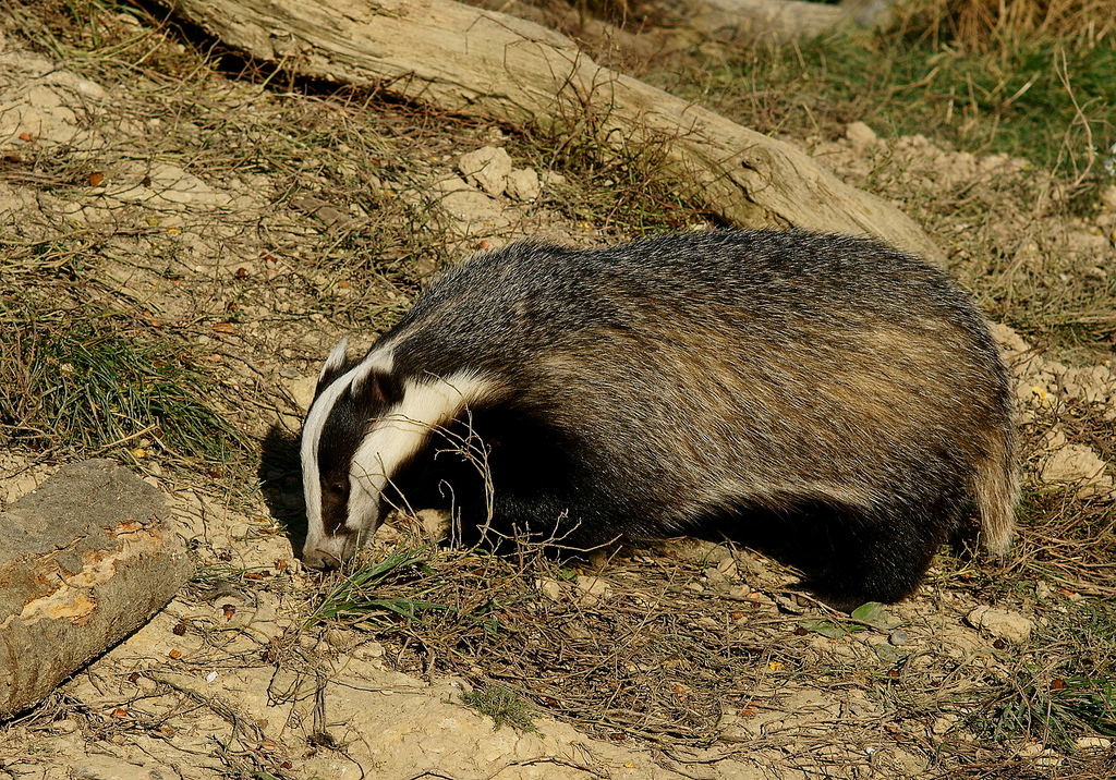 'Honey'_the_badger_in_daylight.jpg