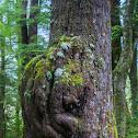 Tree Burl - Fjordland National Park