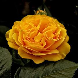 GOR rose 111 16 by Michael Moore - Flowers Single Flower (  )