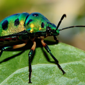 Multi colored insect by Prakash Tantry - Animals Insects & Spiders ( colorful, beautiful, vivid, natural, small,  )