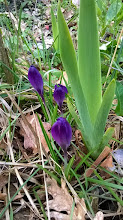 Photo: Crocus printanier (Crocus vernus)