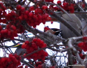 Photo: Bohemian Waxwing in a moutain ash tree in suburban Anchorage