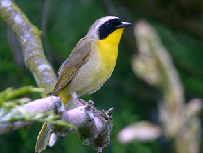 "Photo: The Common Yellowthroat's persistent call ""wich-i-ty, wich-i-ty, wich-i-ty""can heard in the long grass along the river and ditches.  http://www.allaboutbirds.org/guide/common_yellowthroat/id"