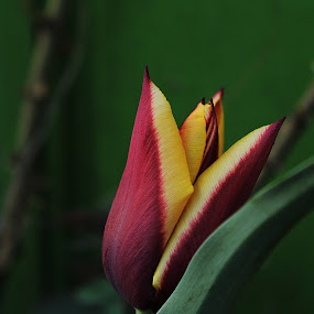 by Monica Dragomir - Flowers Single Flower