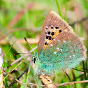 Provence Hairstreak; Cardenillo