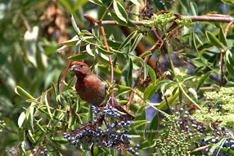 Photo: House Finch - Male