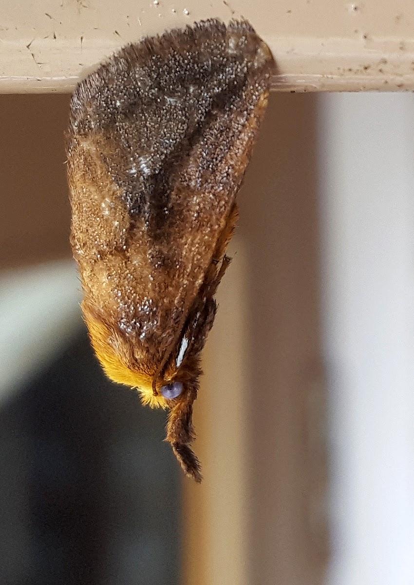 Slug Moth
