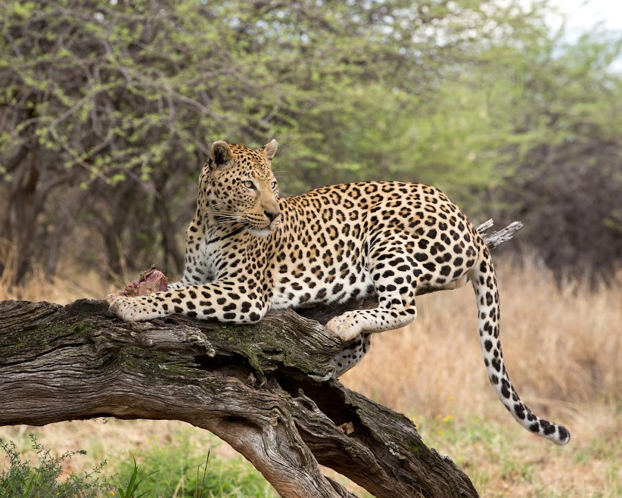 Namibian Leopard II by Kevin Standage - Animals Lions, Tigers & Big Cats ( canon, etosha, standage, africa, leopard, kevin, namibia )