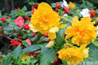 Photo: 拍攝地點: 梅峰-溫帶花卉區 拍攝植物: 球根秋海棠 拍攝日期: 2014_09_27_FY