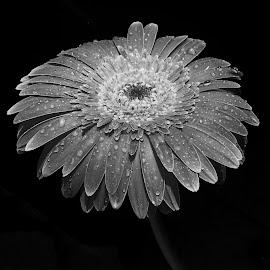 by Biljana Nikolic - Black & White Flowers & Plants