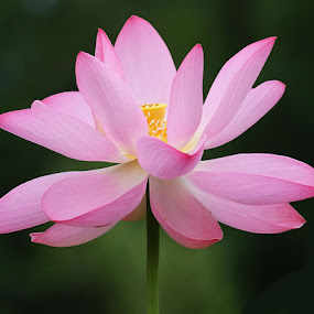 Lotus In Full Bloom by Donna Neal - Nature Up Close Flowers - 2011-2013 ( lotus, pink, flower )