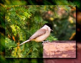 Photo: barátcinege (Poecile palustris)