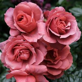 by Sugiarto Widodo - Flowers Flower Gardens (  )