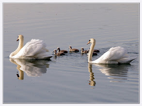 Photo: Schwanenfamilie   Datum und Uhrzeit (Original) 2011:05:11 08:31:29 PENTAX K-7 ISO 800 Belichtung 1/250 Sek. Blende f/7.1 Brennweite 230mm