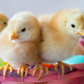 by Brandi Nichols - Public Holidays Easter ( farm, bird, easter, poultry, chickens, birds, chicks )