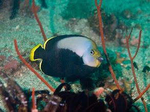 Photo: Pewter Angelfish - Chaeotodontoplus dimidiatus - Twin Rocks