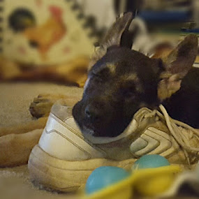 Too tired to chew by Colleen Flynn - Animals - Dogs Puppies ( german shepherd puppy, puppy sleeping on shoe, sleeping puppy, cute puppy, german shepherd dog,  )