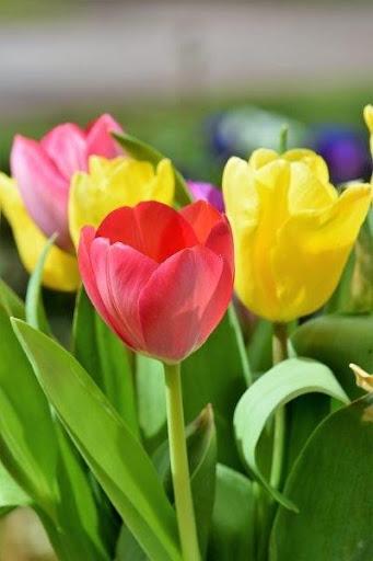 Tulipanes De Colores Fondos Imágenes Download Apk Free For Android Apktume Com