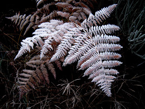 Photo: The morning frost on the dead ferns.. moisture and plant in passing