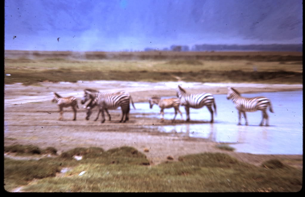 zebras at the watering hole.jpg