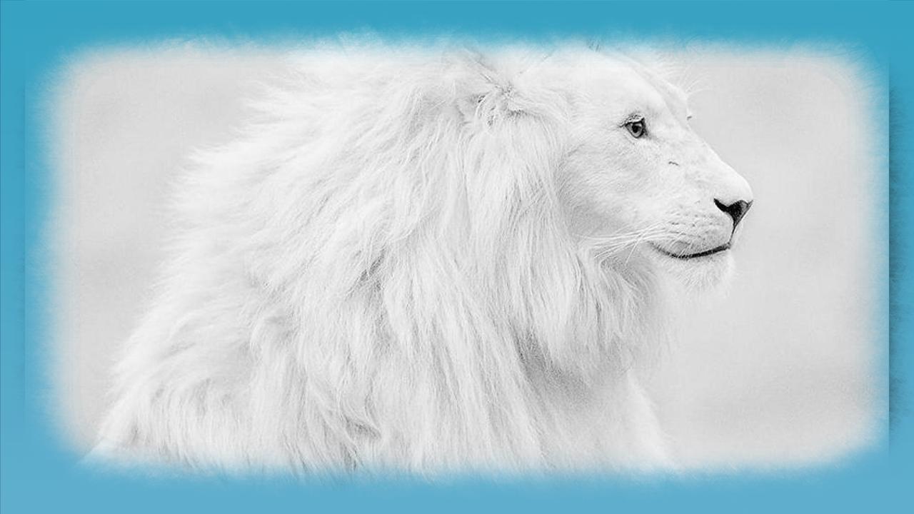 Hd wallpaper white - White Lion Hd Wallpaper Screenshot