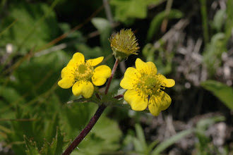 Photo: Geum macrophyllum (Willdenow, 1809) - Long-leaved Avens Identification by Tanya Harvey