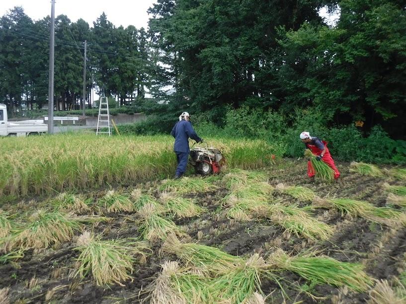 バインダーで刈り取る丈ちゃん、稲を運ぶGさん