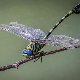 Dragonfly by Dirk Luus - Animals Insects & Spiders ( animals, nature, wings, insect, dragonfly )