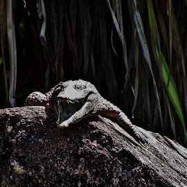 Crocodile by Sarah Harding - Novices Only Wildlife ( nature, outdoors, novices only, wildlife, reptile,  )