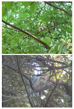 Photo: 撮影者:浜田 早苗 オナガ タイトル: 観察年月日:2015年7月14日 羽数:5羽(幼鳥3羽) 場所:日野市役所前中央公園 区分:繁殖 メッシュ:立川1A コメント:クイクイ鳴いて羽を震わせる幼鳥3羽いました 帰る時鳴きながらツミが飛んで来てオナガがいる方を見ていたので様子を見るとうす暗いシイの木の中に隠れるようにいました 1羽の親がツミの方を見てずっと鳴き続けていました
