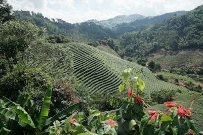 Teeplantage bei Mai Salong