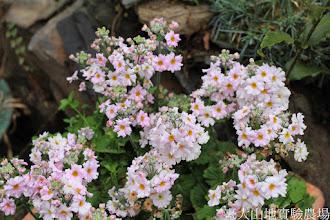 Photo: 拍攝地點: 梅峰-溫帶花卉區 拍攝植物: 櫻草 拍攝日期: 2015_02_09_FY