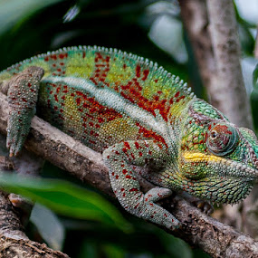 chameleons by Jan   Levent - Animals Reptiles (  )