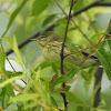 Blackpoll warbler, female