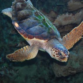 Sea Turtle by Angel Harvey - Novices Only Wildlife ( sea turtle, , sea creatures, underwater life, ocean life )