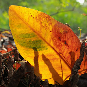 Fallen Leaves by Rudy Kurniawan - Nature Up Close Leaves & Grasses ( pwcfallleaves )