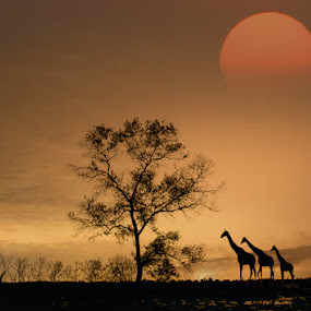 Back Home # 1 by CK NG - Animals Other ( giraffe, sunset, safari )