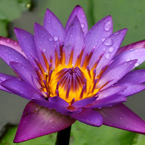 waterlilly  by B Thottoli - Nature Up Close Flowers - 2011-2013 ( lilly )
