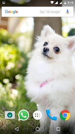 Pomeranian Dog Hd Wallpapers 1 1 Apk Free Personalization