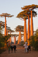 Photo: Sunrise at the Avenue of Baobabs.