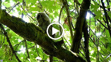 Video: What is the Barred Owlet doing? Just minutes before it had swallowed a vole whole given to it by its parent. Is it practicing tearing its prey apart?