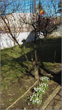 Photo: Ghiocei (Galanthus) din Turda, Calea Victoriei, Nr.34 - 2019.02.13