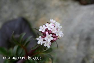 Photo: ΒΑΛΕΡΙΑΝΑ valeriana officinalis ΚΑΛΑΜΑΥΚΑ